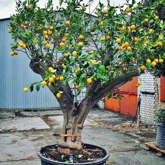 citrus na záhradu
